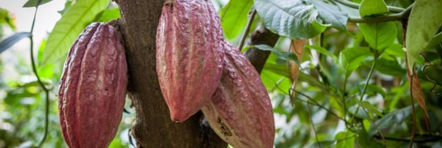 Les industriels du cacao s'engagent contre la déforestation