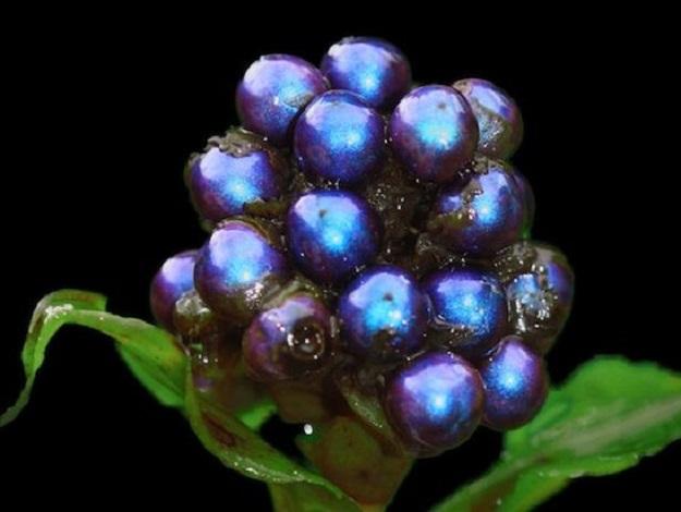 bleu pollia condensata
