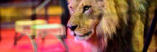 Animaux bientôt interdits dans les cirques ? Les circassiens se défendent