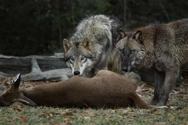 Michael Pollan, loups