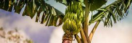 L'ouragan Maria a soufflé les plantations de bananes antillaises