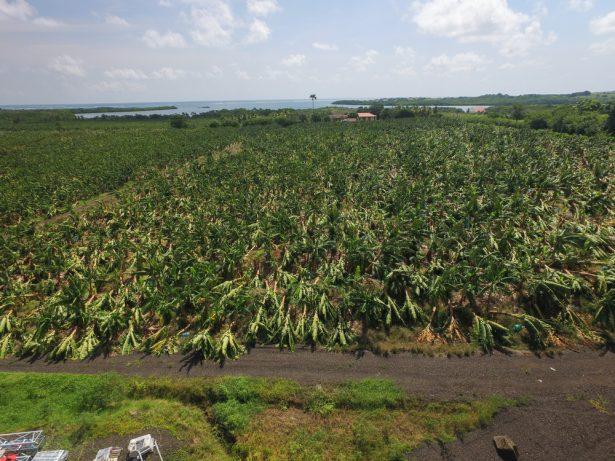 plantations de bananes