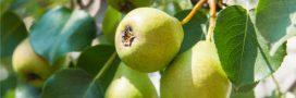 Jardinage – En septembre, récoltez les poires