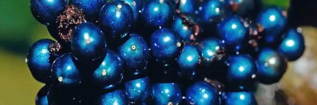 Pollia condensata, la plus belle couleur de la nature