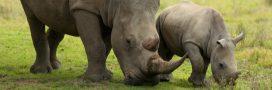 Afrique du Sud: un braconnier de rhinocéros condamné à 20 ans de prison