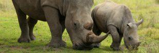 Afrique du Sud : un braconnier de rhinocéros condamné à 20 ans de prison