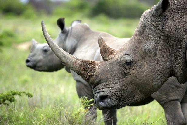 braconnier de rhinocéros