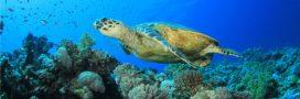 Les grandes tortues de mer iraient mieux: les efforts de conservation portent leurs fruits