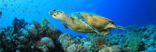 Les grandes tortues de mer iraient mieux : les efforts de conservation portent leurs fruits