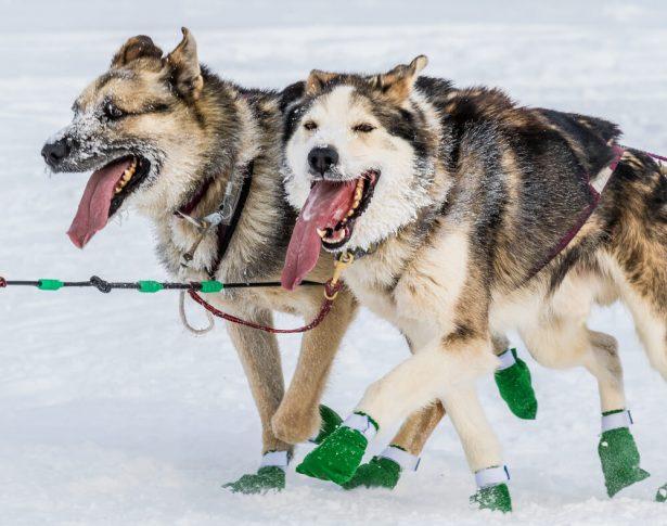 chiens de traineau