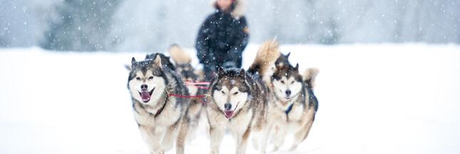 Dopage : des chiens de traîneau contrôlés positifs