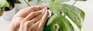 Pour des plantes vertes en bonne santé, pensez à les dépoussiérer !
