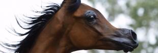 """Les éleveurs rendent les chevaux difformes pour satisfaire des critères de """"beauté"""""""