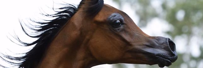 Les éleveurs rendent les chevaux difformes pour satisfaire des critères de 'beauté'