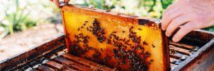 Toxicité des néonicotinoïdes : 75 % des miels seraient contaminés