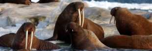 Trump refuse de classer 25 espèces en danger
