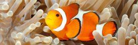 Bientôt la fin du 'Monde de Nemo'? Les poissons-clowns en danger