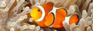 Bientôt la fin du 'Monde de Nemo' ? Les poissons-clowns en danger