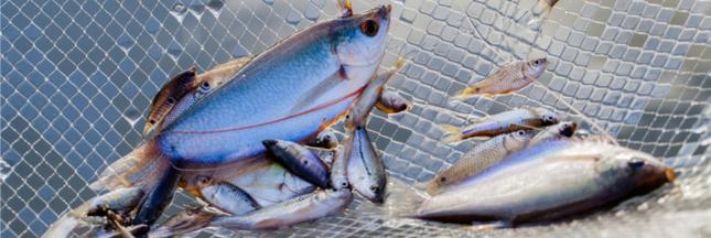 Pas de quotas européens pour l'anguille, pourtant déjà sur-pêchée