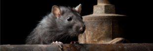 Les rats de plus en plus résistants