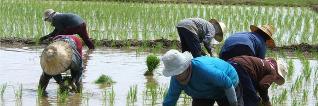 En Chine, le riz se cultive désormais dans l'eau salée