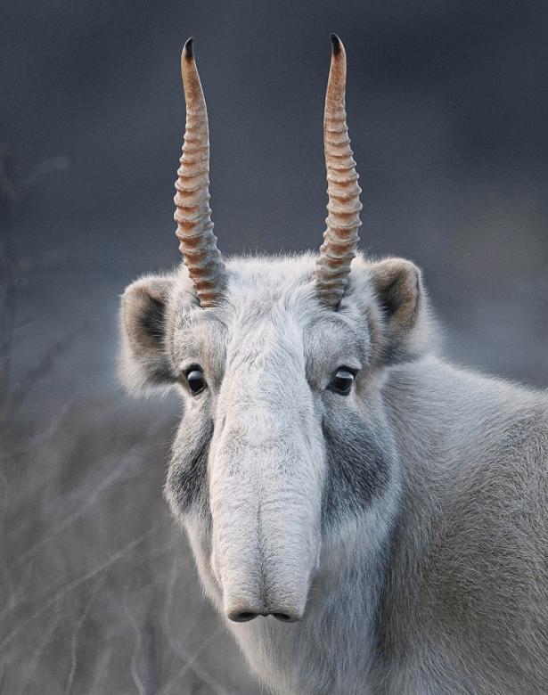 Antilope Saïga Endangred Tim Flach
