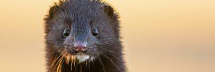 Un tiers des mammifères menacés de disparition en France