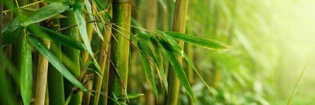 Le bambou, matériau millénaire... et écologique ?