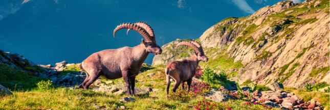 Vingt bouquetins seront abattus dans le massif du Bargy en Haute-Savoie