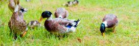Désherbant naturel: adoptez un canard!
