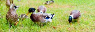 Désherbant naturel : adoptez un canard !