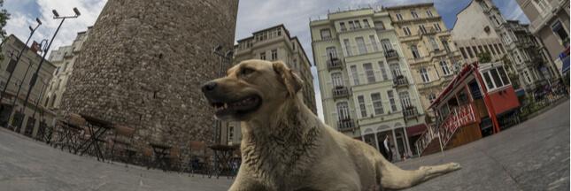 Des centaines de chiens errants d'Istanbul abandonnés en forêt