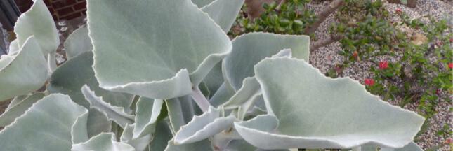 Plante d'intérieur : en novembre, bouturer le Kalanchoe beharensis