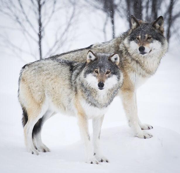 Loups norvégiens