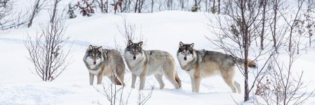 WWF aide à suspendre l'abattage illégal des loups en Norvège