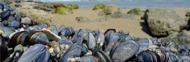 Pour créer un matériau ultra-résistant, les scientifiques s'inspirent de mollusques