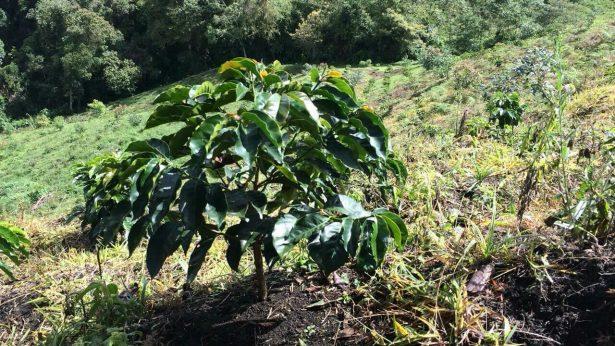 producteur de café, plant de café