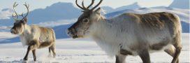 En Norvège, massacre de rennes par… les trains