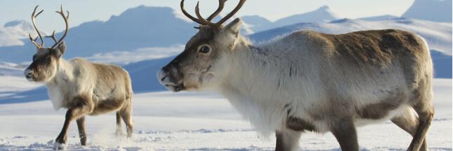 En Norvège, massacre de rennes par... les trains