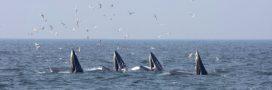 Consternation: la CITES échoue à interdire les importations de viande de baleine