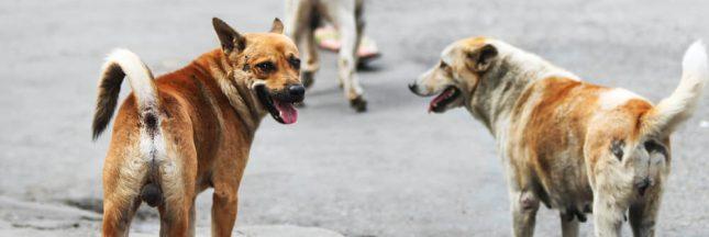 Vers une campagne d'abattage des chiens errants sur l'île de La Réunion?