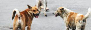 Vers une campagne d'abattage des chiens errants sur l'île de La Réunion ?