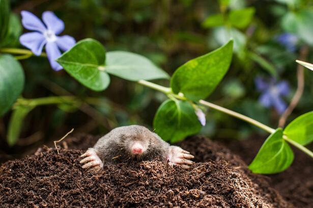 Astuces naturelles pour éloigner les taupes du jardin
