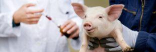 L'OMS veut interdire les antibiotiques sur le bétail sain
