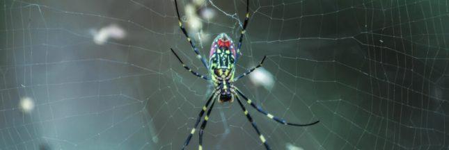 Des araignées tissent des toiles capables de supporter des humains