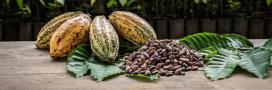 Le cacao d'Équateur est-il dangereux pour la santé?