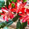 Le cactus de Noël : bouture de décembre