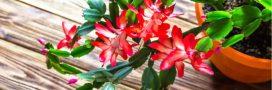 Le cactus de Noël: bouture de décembre