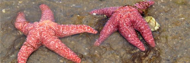 Décimées par un virus mortel, les étoiles de mer se sont adaptées génétiquement