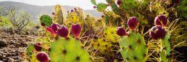 Les figuiers de barbarie, une plante d'avenir selon l'ONU